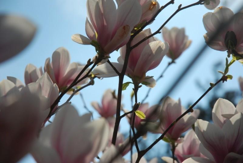 White magnolias in Powsin Park in Warsaw