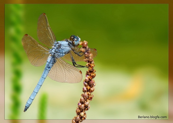 The Blue Damselfly