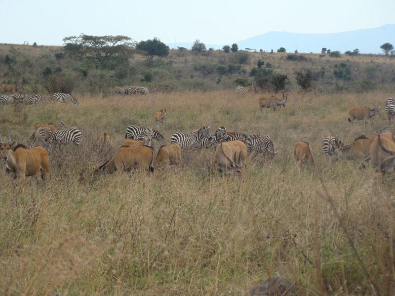 wildebeest and zebra In Nairobi National Park