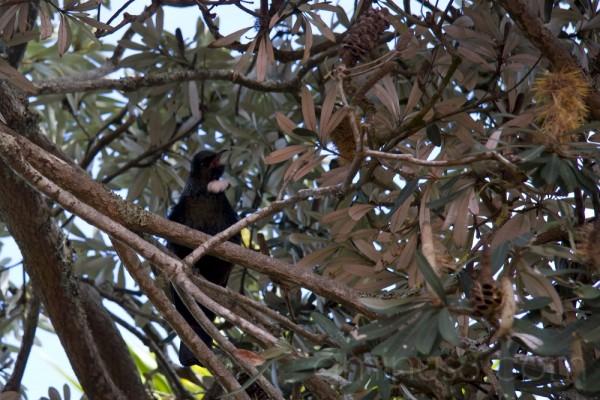 Tui in banksia tree