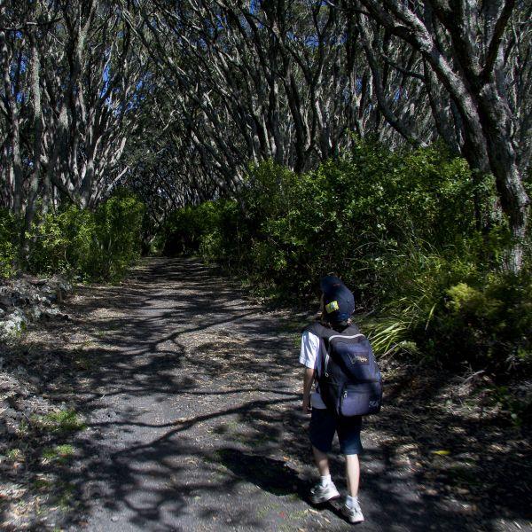 Pōhutukawa forest on Rangitoto Island