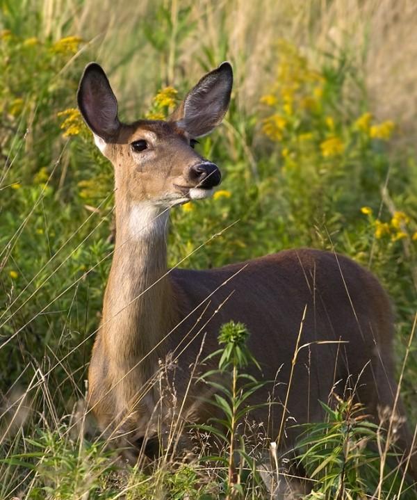 Female White-tail deer