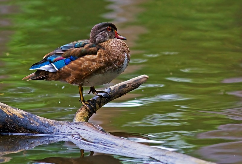 Female Woodduck with changing colors