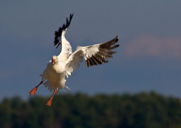SNow Geese in Victoriaville