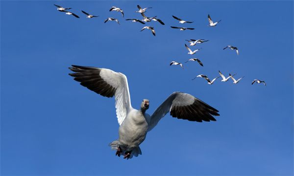 Snowgeese in Victoriaville