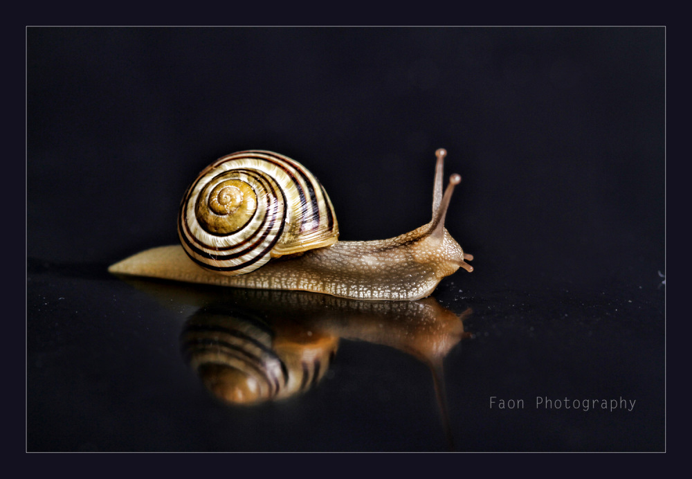Golden snail ...