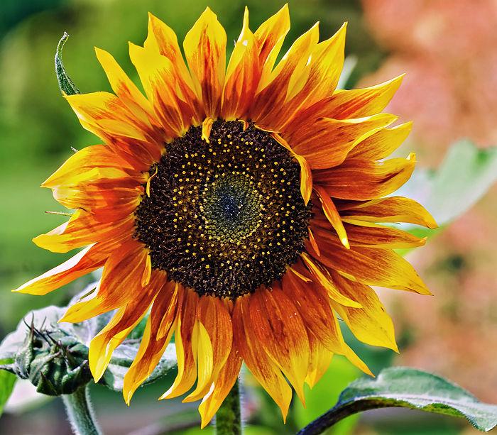 Sunflower at Botanic Park