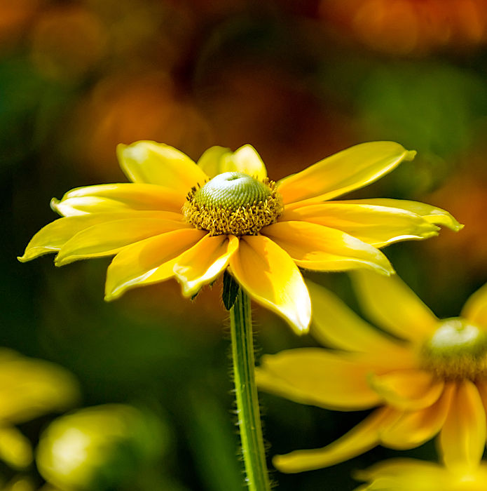Yellow flower at Botanic park