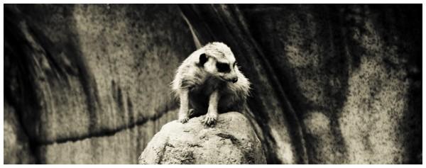 Masked Meerkat