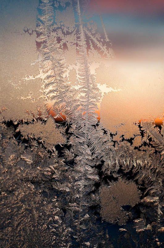ice roses IV