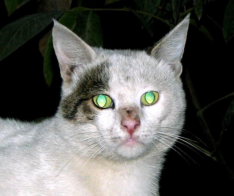 Green Eye Persian Cat