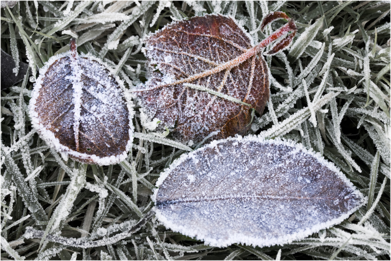 A Hard Frost (2)