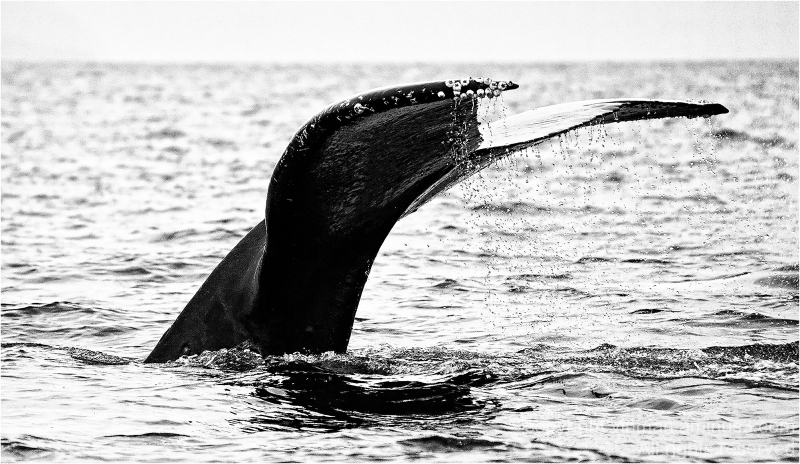 A humpback whale's tail breaks the surface