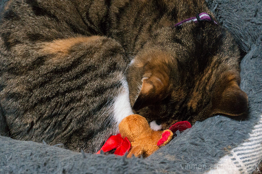 A cat curled up with a catnip reindeer