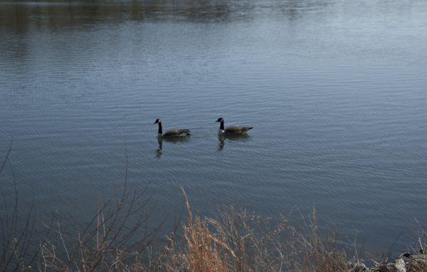 2 ducks 1 lake