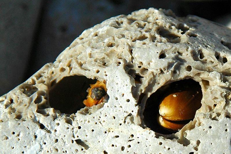 Bohrmuschel (drilling mussel)