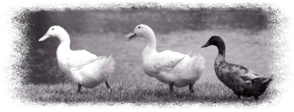 strollin' ducks