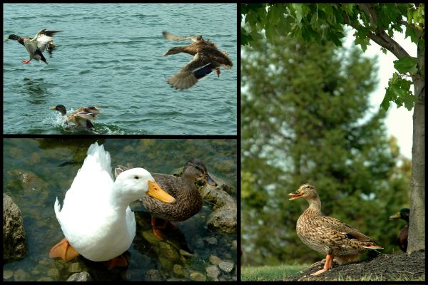 duck-ollage   :-)