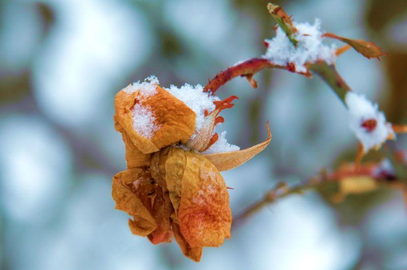 Snowy Rose Bud