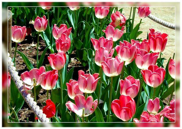 soft rose color