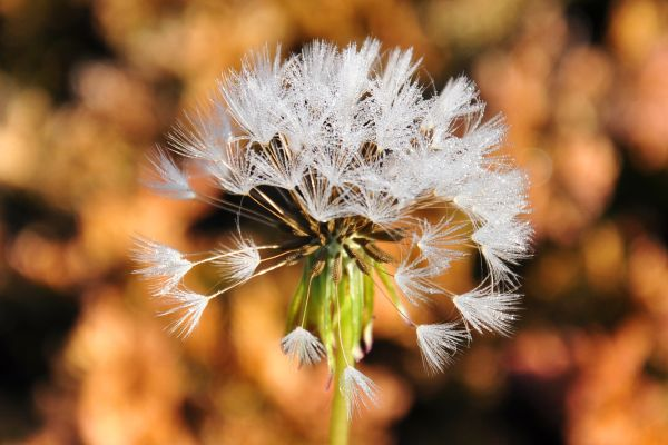 Dandelion with morning dew