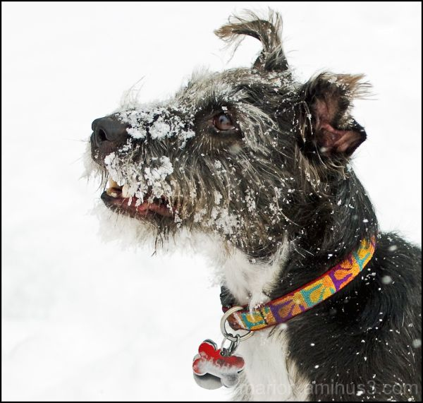 Snow Dog #2