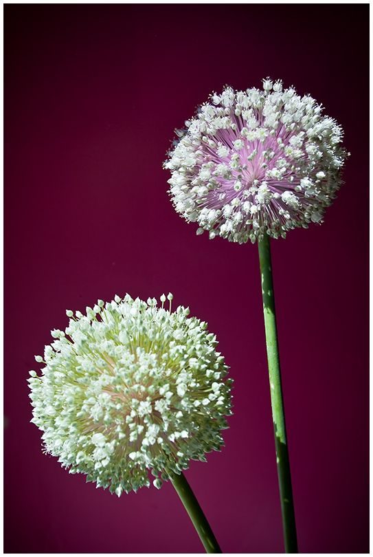 Flor del puerro