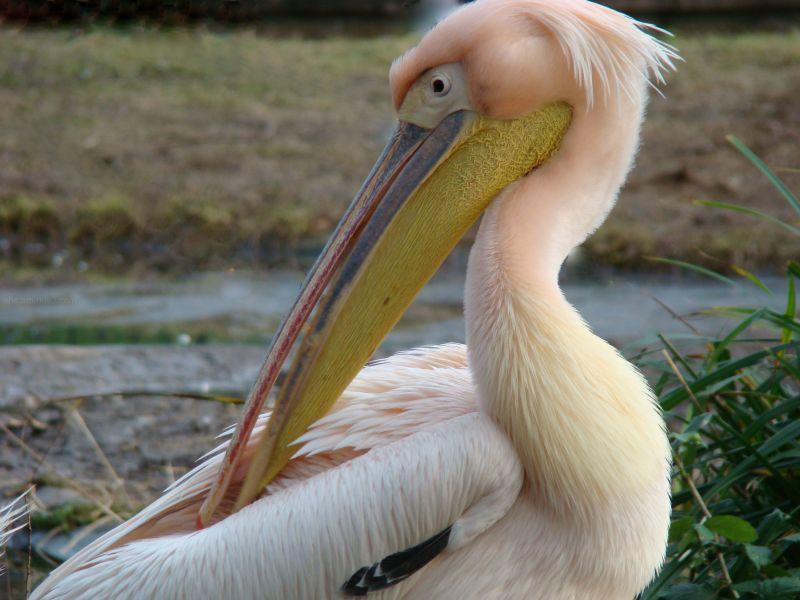 Pelican in London Zoo