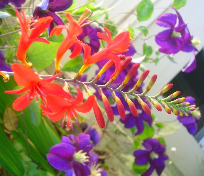 Crocosmia and Clematis