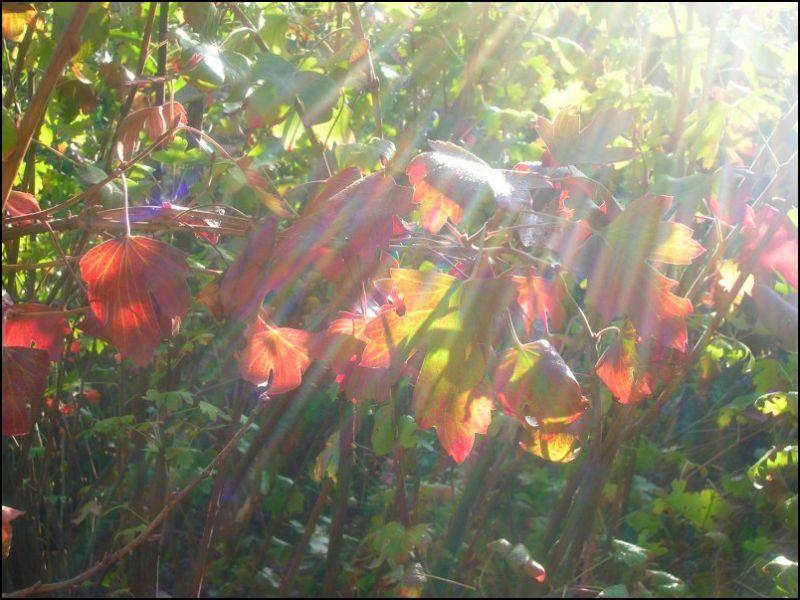 Morning sunlight filtered through currant bush