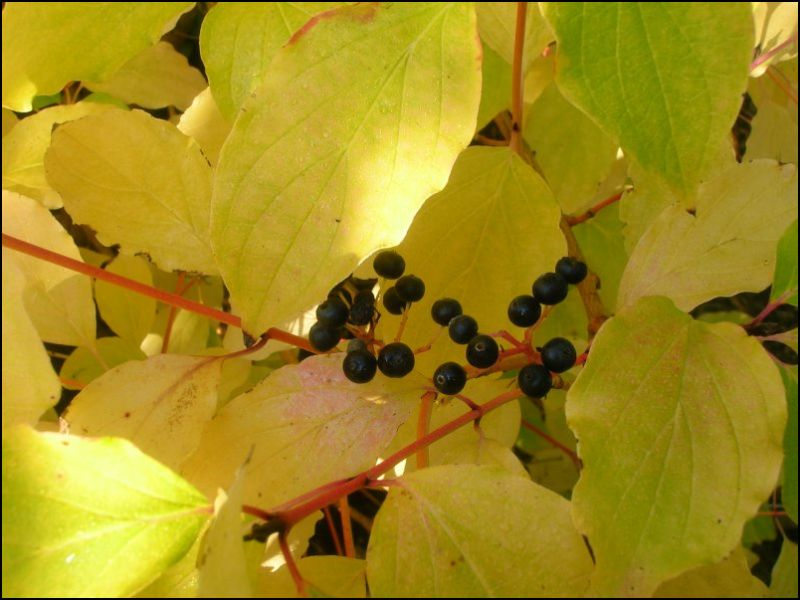 Dogwood - autumn