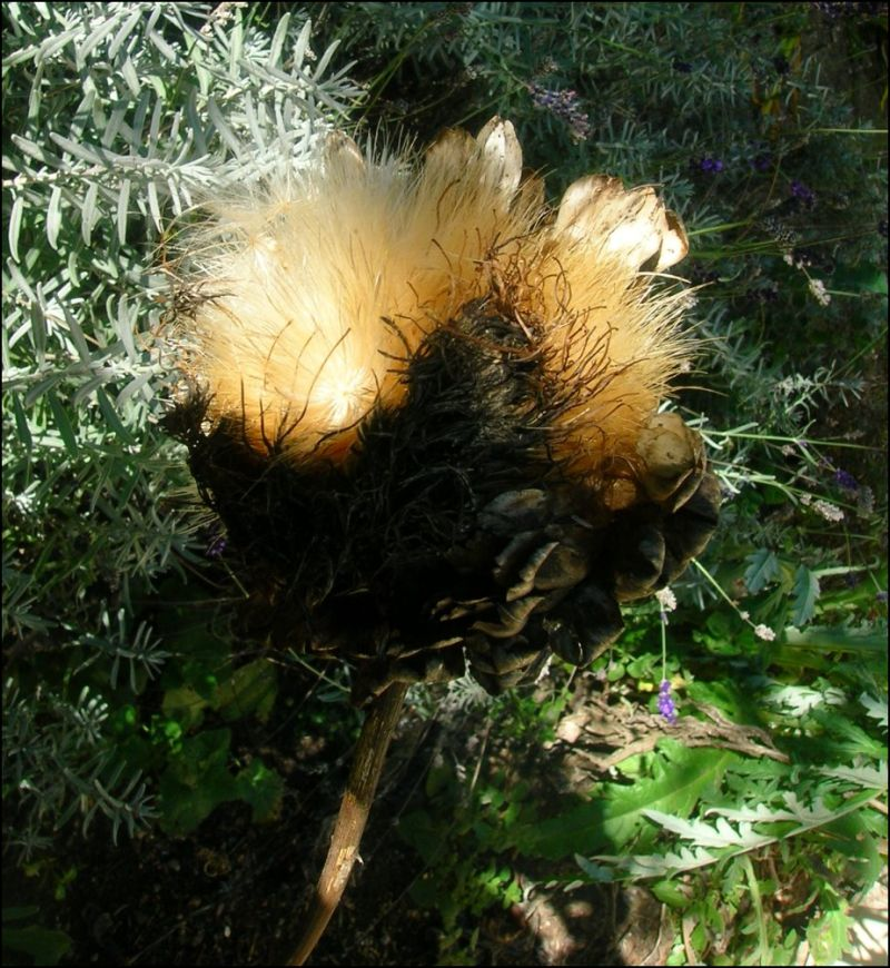 Artichoke in autumn