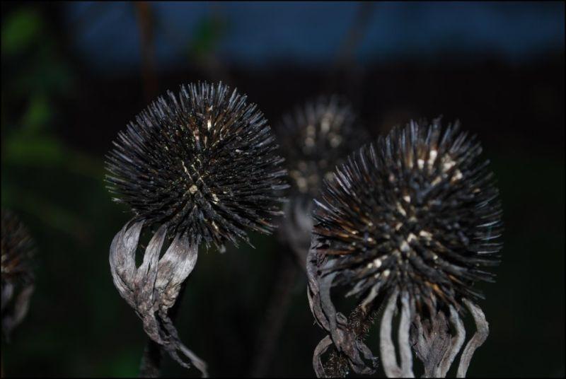 autumn echinacea