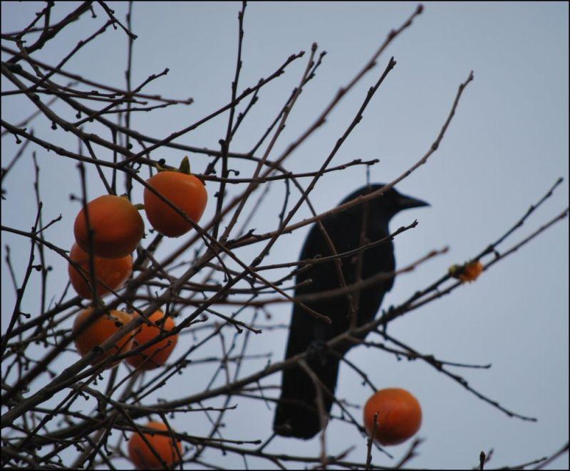crow persimmon tree
