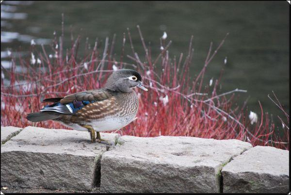 bird duck