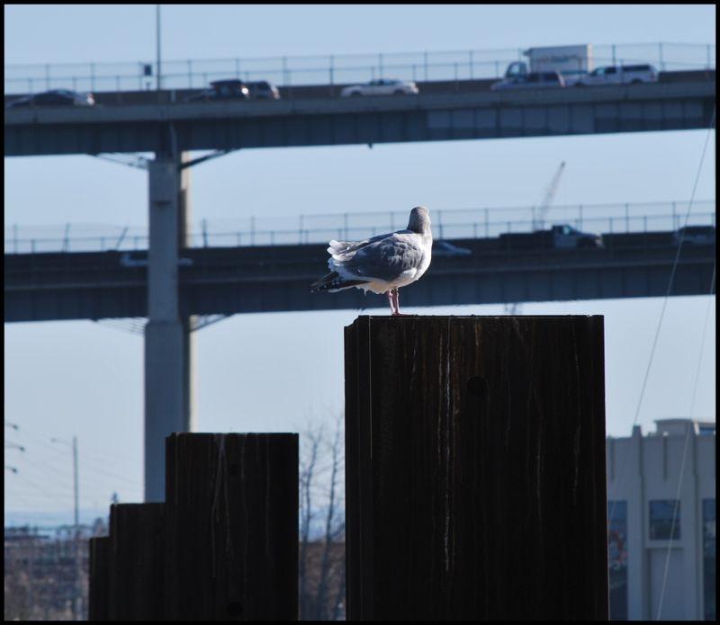 birds seagull