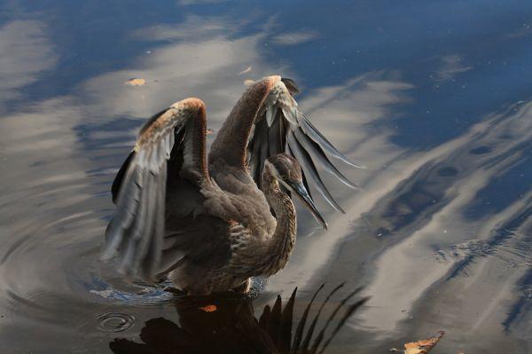 Le Grand heron