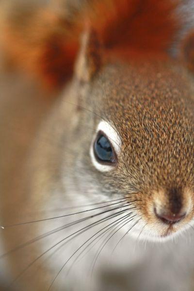 Coucou l'écureuil roux