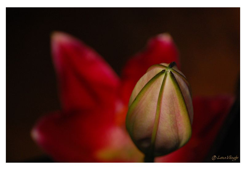 Red lily with bud