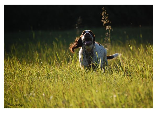 spaniel dog running in the grass