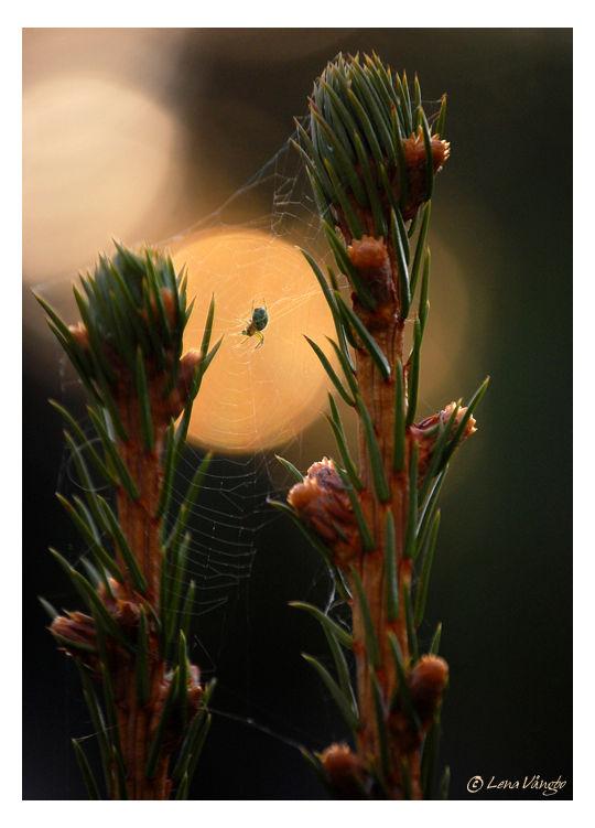 spider in sunset