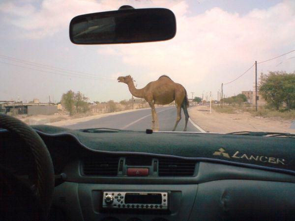 Camel, Qeshm, Road, Closed