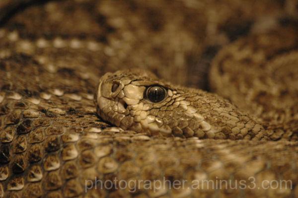 Serpiente de cascabel (crotalo)