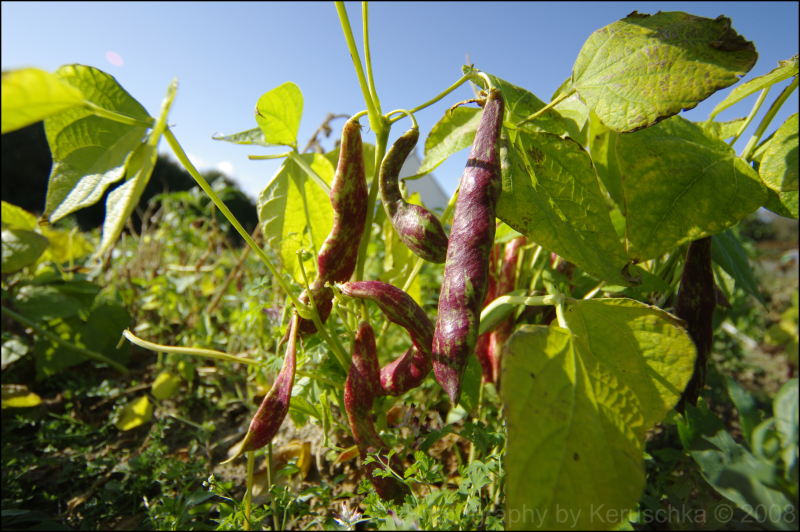 Haricots Big Borlotto beans bio