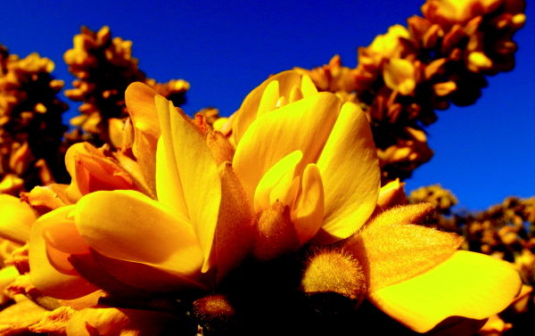Retour printemps groix fleures jaunes