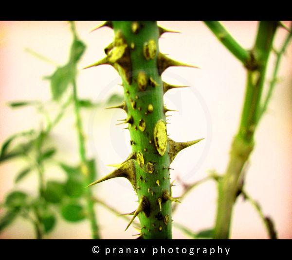 thorns on rose plant