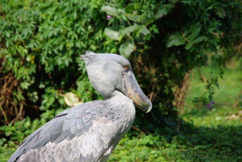 Stonebilled stork