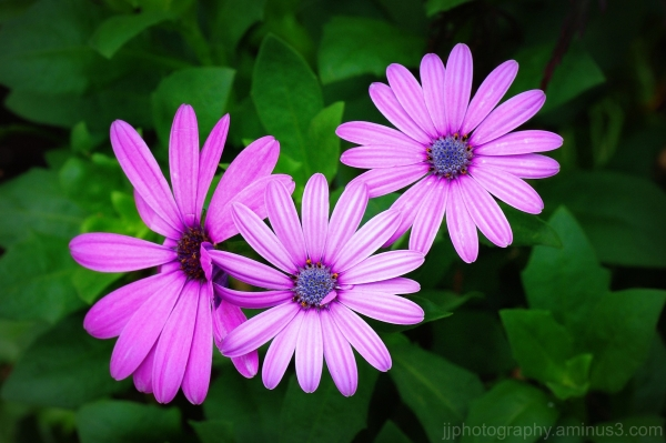 3 pink flowers