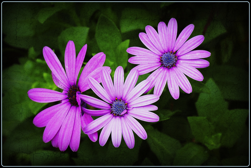 three pink flowers with texture
