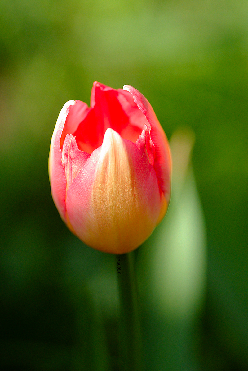 Home grown Tulip